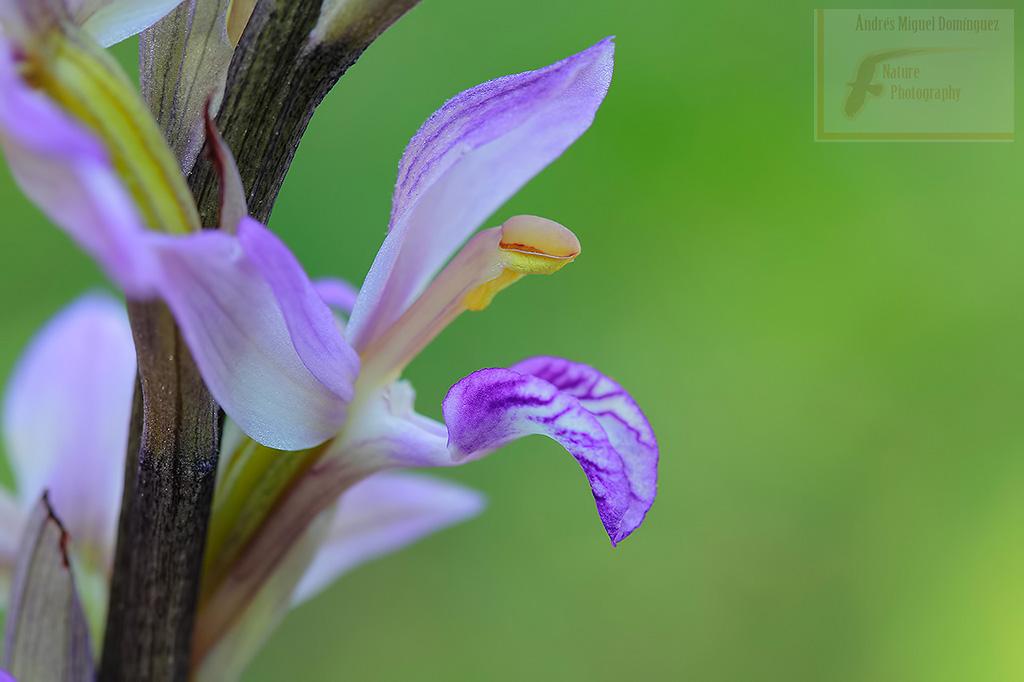 Orquídea parásita