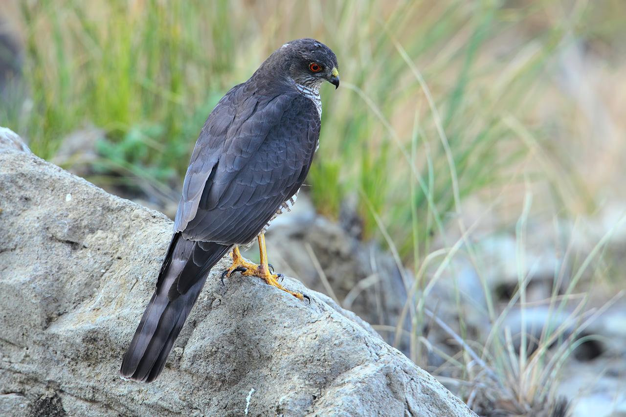 Gavilán, Sparrowhawk (Accipiter nisus)